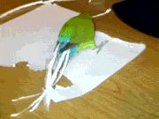 A smart parrot creates tail feathers by cutting paper with it's beak which he then inserts into his tail end!