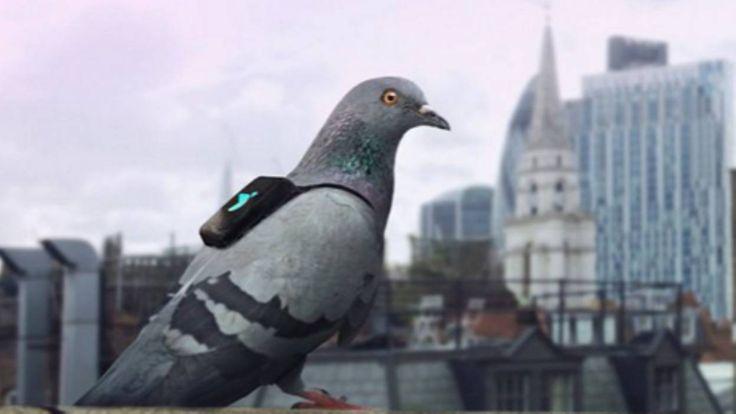 Londres: une brigade de pigeons pour contrôler la qualité de l'air