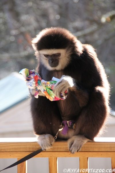 March 19th from 4-6pm *Special Birthday Celebration for Mattie our Gibbon! Click for more info*