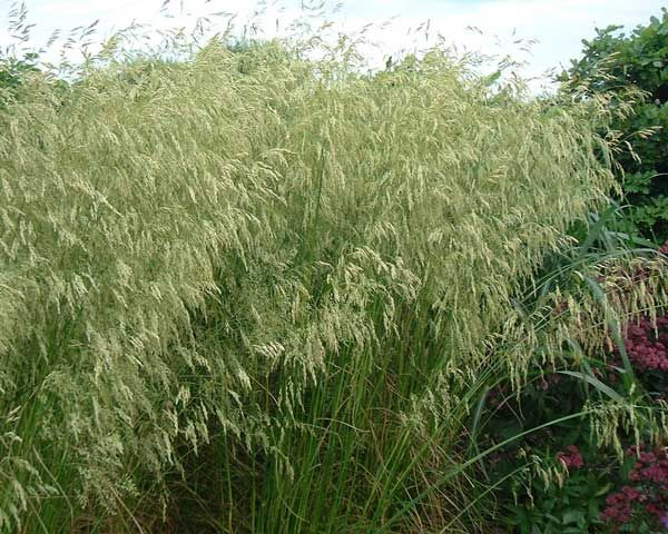 37 best images about grasses on pinterest feathers for Tall ornamental grasses that grow in shade