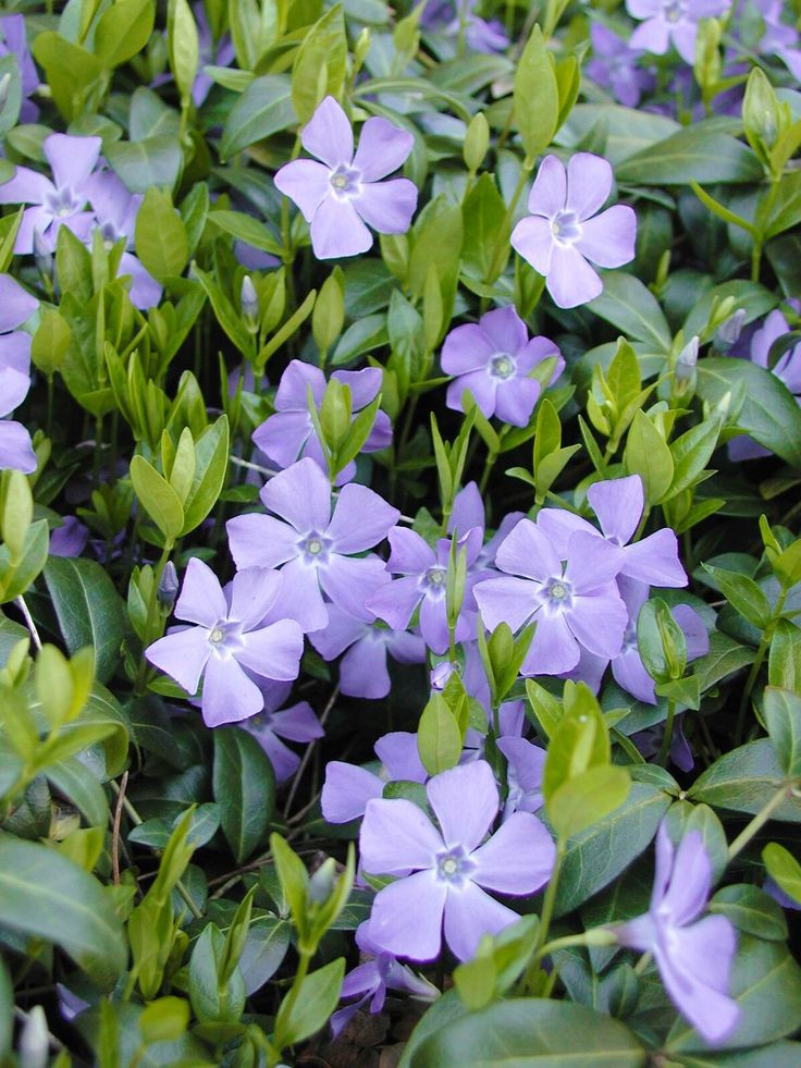 how to get rid of creeping myrtle