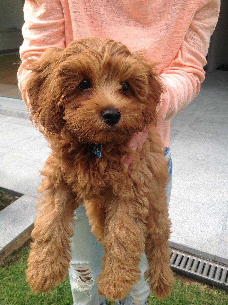 Red toy cavoodle - http://www.burkesbackyard.com.au/fact-sheets/pets/pet-road-tests/cavoodle/#.VrZ681N96Rs