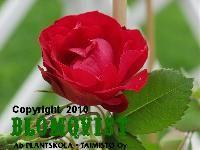 9. ADELEINE HOODLESS V 0,8 - 1 m Aurinkoisella paikalla  Erittän runsaskukkainen ja kauniin punainen ruusu vuodelta 1973. Kukat ovat halk. n.7 cm. Kukinnoissa voi olla jopa 35 kukkaa. Nopeakasvuinen, melkein piikitön ruusu tulee n.1m korkeaksi. Kukkii kesä-heinäkuussa ja elokuussa. Hyvä vastustuskyky härmälle ja melko hyvä mustalaikkutaudille.