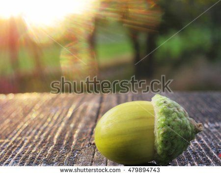 acorn lying on a wooden surface in the forest in sunset time