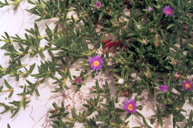 Carpobrotus glaucescens (pigface), eastern beach, Moreton Island National  Park, SEQ. © Lisa Ford, EHP, 2001