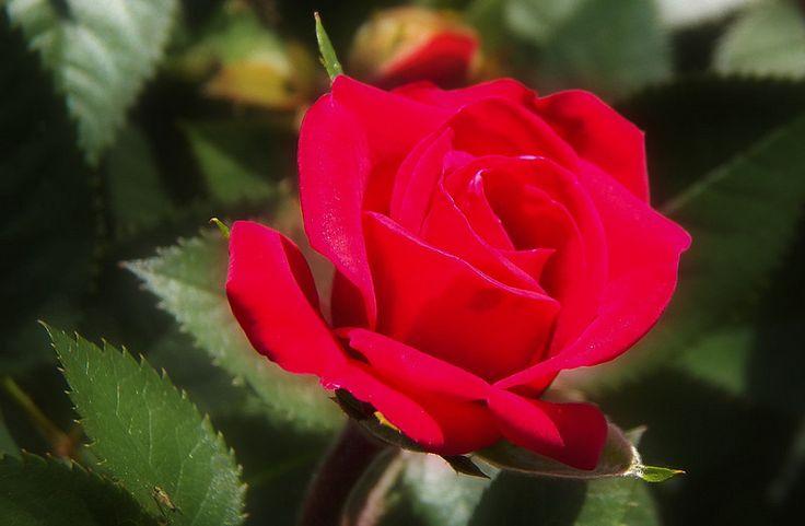 mawar merah    Mawar adalah suatu jenis tanaman semak dari genus Rosa sekaligus nama bunga yang dihasilkan tanaman ini. Mawar lia...