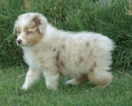 Puppyplaats.nl - Super sociale Australische herder pups - Australian Shepherd pups