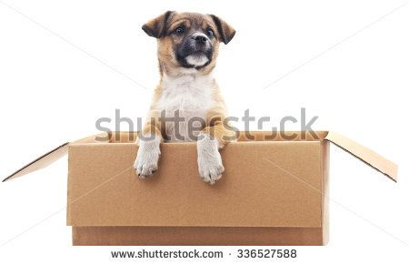 Puppy in the box on a white background.