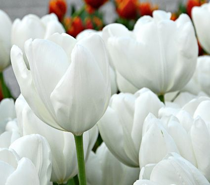 584 best bulbs garden images on pinterest pretty flowers tulip hakuun white flower farmwhite mightylinksfo Choice Image