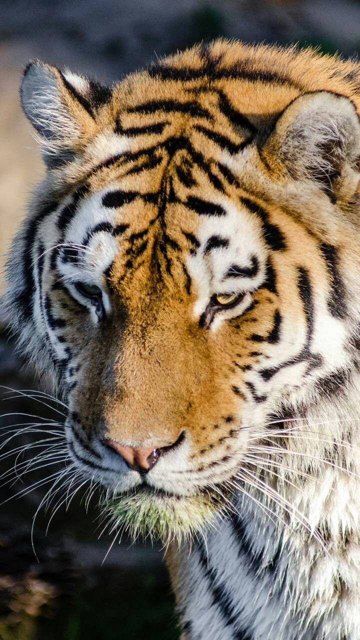 Pin Von Berhan Vural Auf Wild Life Mit Bildern Katzen Tiere Raubkatzen