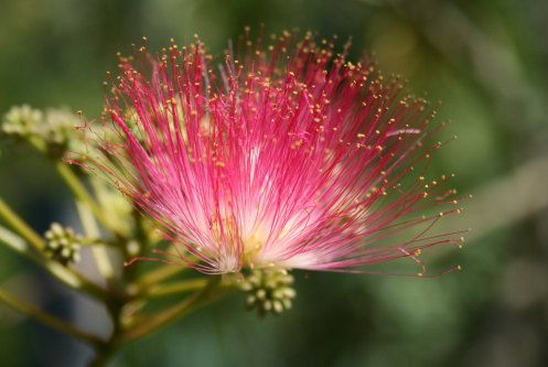 Heirloom 150 Seeds Albizia julibrissin Mimosa Tree Pink Siris Persian Silk Tree Shrub Pink Flower T032