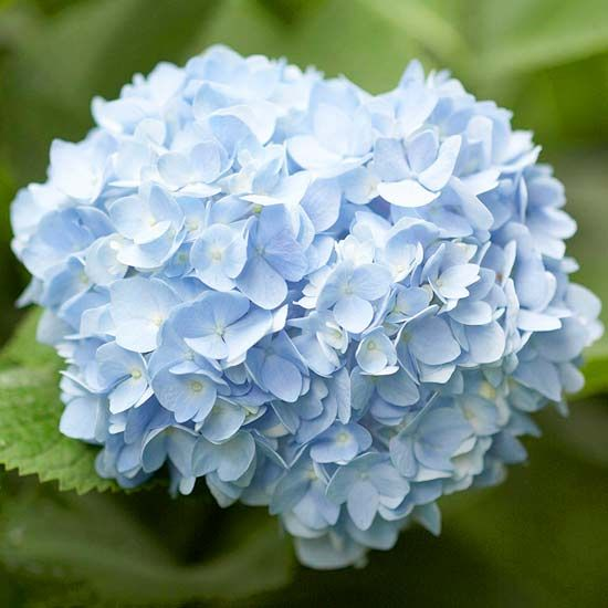 "Heavenly Hydrangea (Reblooming Beauties for the Garden) ""Most hydrangeas bloom once and"