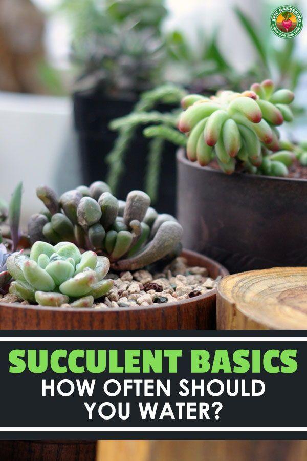 Succulent Basics How Often Should You Water Succulents House