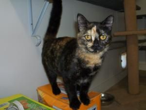 Shelly Maria is an adoptable Calico Cat in Jasper, TX. Shelly Maria is seven months old, spayed with all her shots. This little beauty is sweet, sweet, sweet!! Shelly is house trained and gets along g...