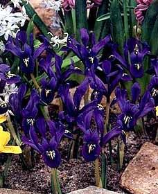 And these look like the dwarf irises that come up early in spring.... I am SO over winter!