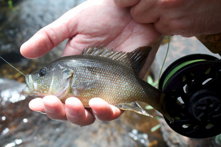 17 best images about fly fishing at desoto state park on for Best trout fishing states