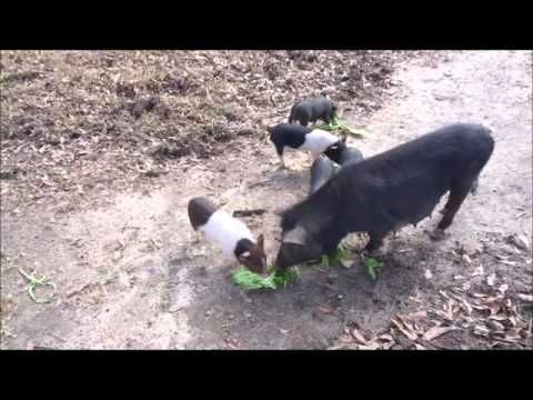 Raising pigs on the homestead - Deep South Homestead