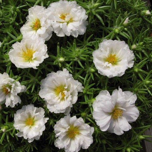 Portulaca Moss Rose White Ground Cover Seeds (Portulaca Grandiflora) 200+Seeds