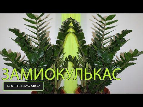 Большой ЗАМИОКУЛЬКАС уход в домашних условиях / Zamioculcas & dollar tree Adult care home - YouTube