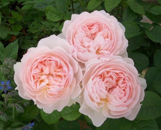 David Austen English Rose' Gentle Hermione', 2005