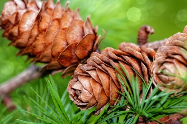 Grow your own pine tree from seed and make the world a greener place. This guide is about how to harvest pine seeds (also known as pine nuts) from the pine cone for planting.