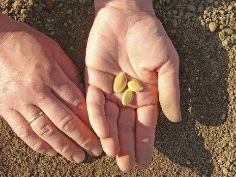 Plantando Abóboras