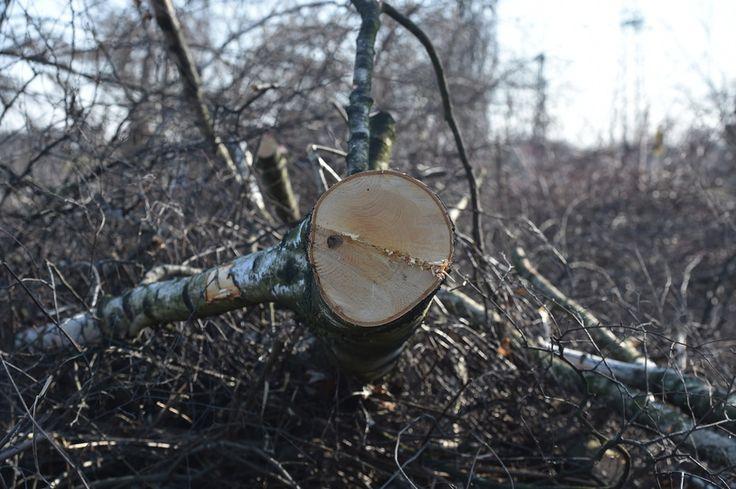 Zgrzyt na linii Kaczyński-Szyszko. Minister chce dalej wycinać drzewa