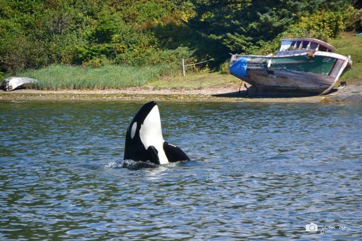 I think this orca was spy-hopping to get a better look at us! — at Ucluelet Harbour.  Thank you Jim Wong