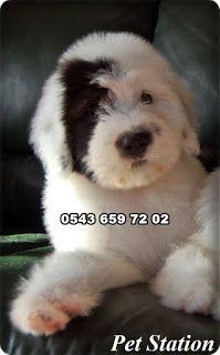 satılık yavru köpekler (Pet Station): satılık bobtail köpek yavruları ilanları 0543 659 ...