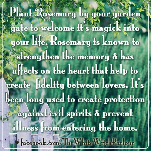 rosemary, garden, witch, hedgewitch, magick, spell, meaning, symbolism, metaphysical, spiritual, home blessing, practical magic, herbs, witchcraft, tradition, book of shadows, ritual, superstition, fidelity, evil spirits, protection, house, family https://www.facebook.com/TheWhiteWitchParlour