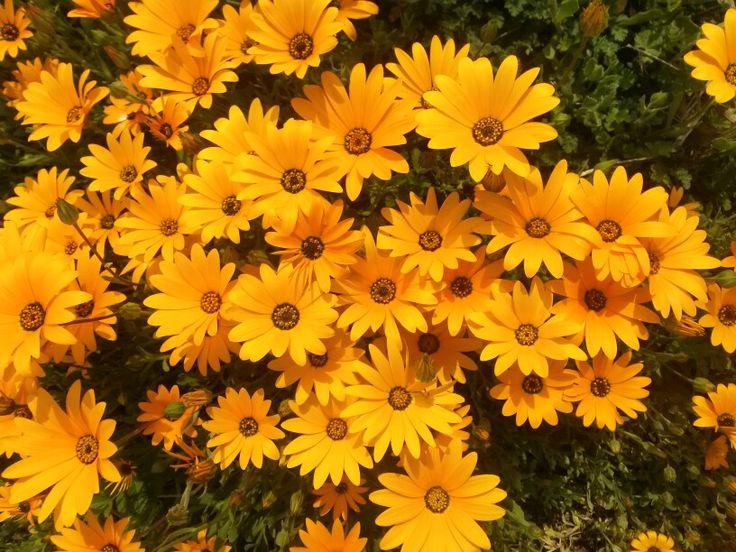 Wildflowers, Cederberg