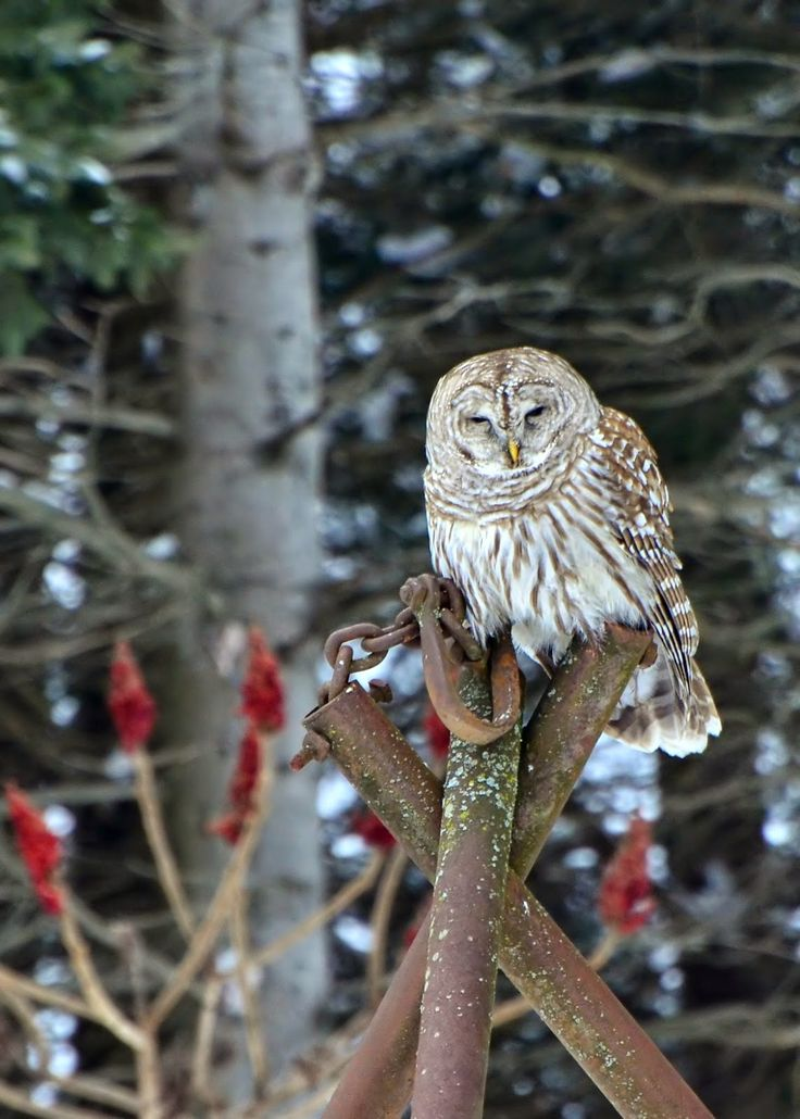 Photo Adventure Guild: Barred Owl