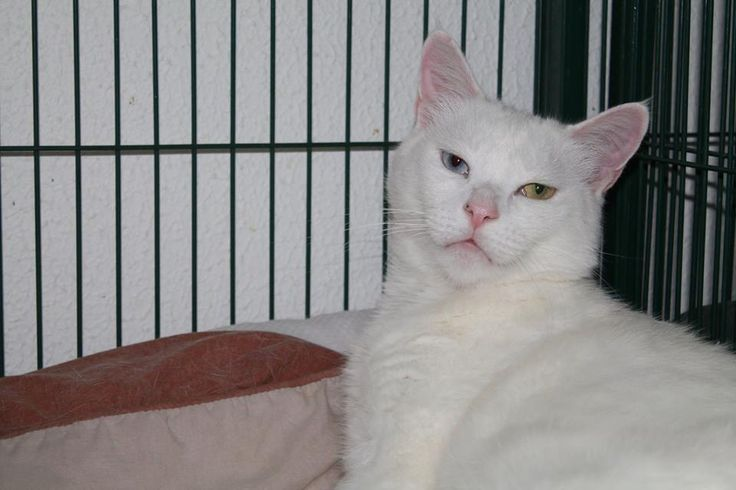 Meet Kimba.    Kimba is a quiet and refined gentleman with the most exquisite eyes.    Handsome Kimba is a bit sad at the shelter and is looking for a forever home where he can really be himself.    Kimba has been:  Vet Checked   Desexed   Vaccinated   Microchipped - 982000362059403  Flea and Worm Treated    For further information about Kimba please contact our shelter on   03 5427 3603 or via email to shelter@petshaven.org.au    Kimba like all of our animals comes with 4 weeks FREE Pet…