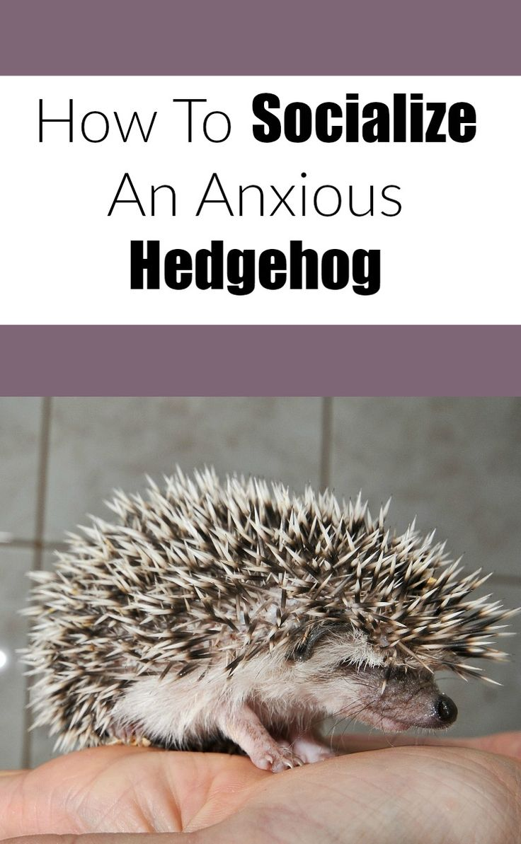 Socialize your anxious grumpy or scared hedgehog with this method.