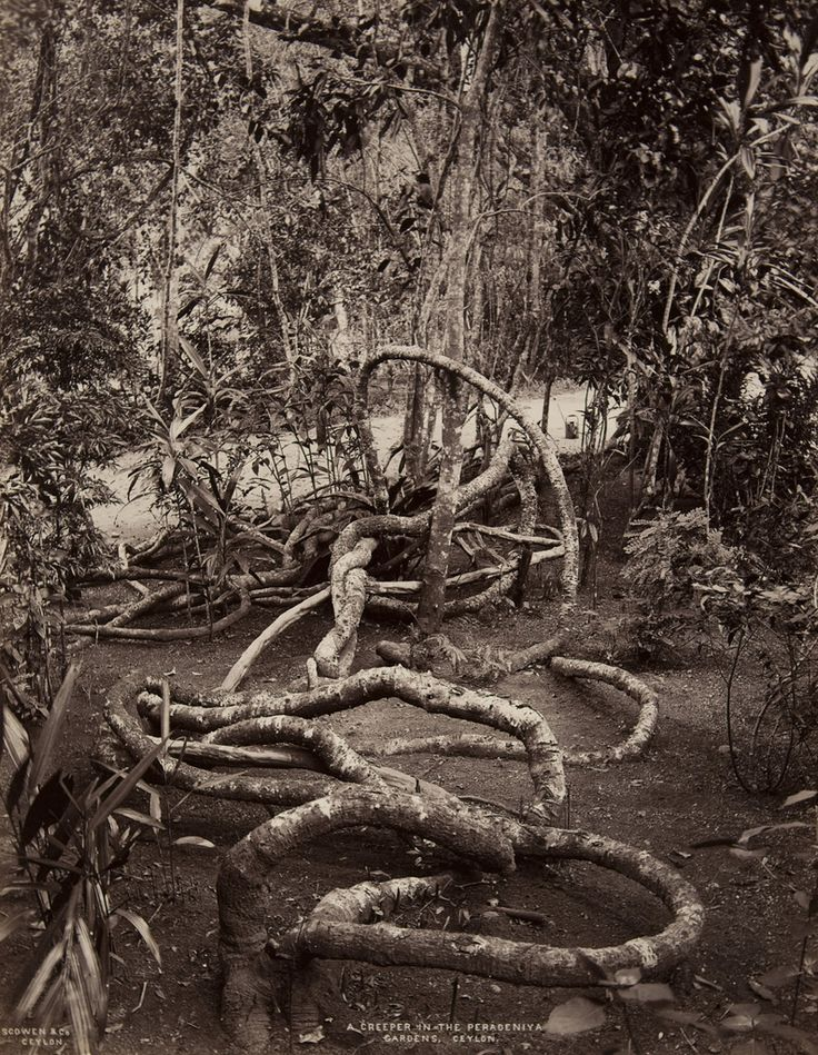 Peradeniya Gardens, Ceylon | Charles T. Scowen | albumen print, 1870: Jungles Vines, Jungle Vines, Neato Photos, Places