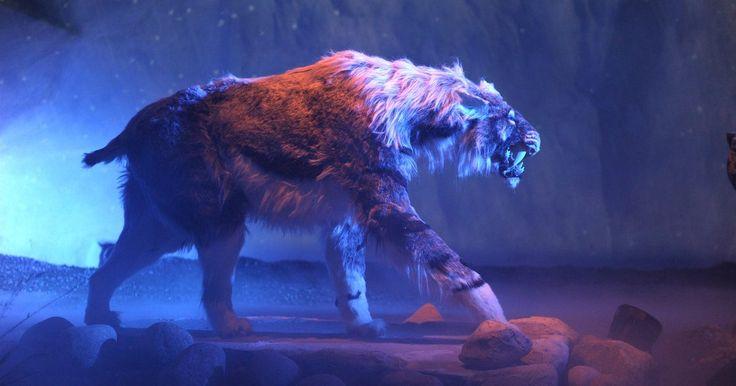 ¿Por qué se extinguió el tigre dientes de sable?. Se recuerda al tigre dientes de sable como una maravilla, así como una reliquia de la era del hielo, pero la verdad es más interesante y más mundana. El gato gigante (medía alrededor de 5 pies -1,5 m- de largo y pesaba 440 libras -200 kg-) recibió su apodo debido a sus dos caninos frontales de 7 pulgadas (17,5 cm). Los científicos han descubierto ...