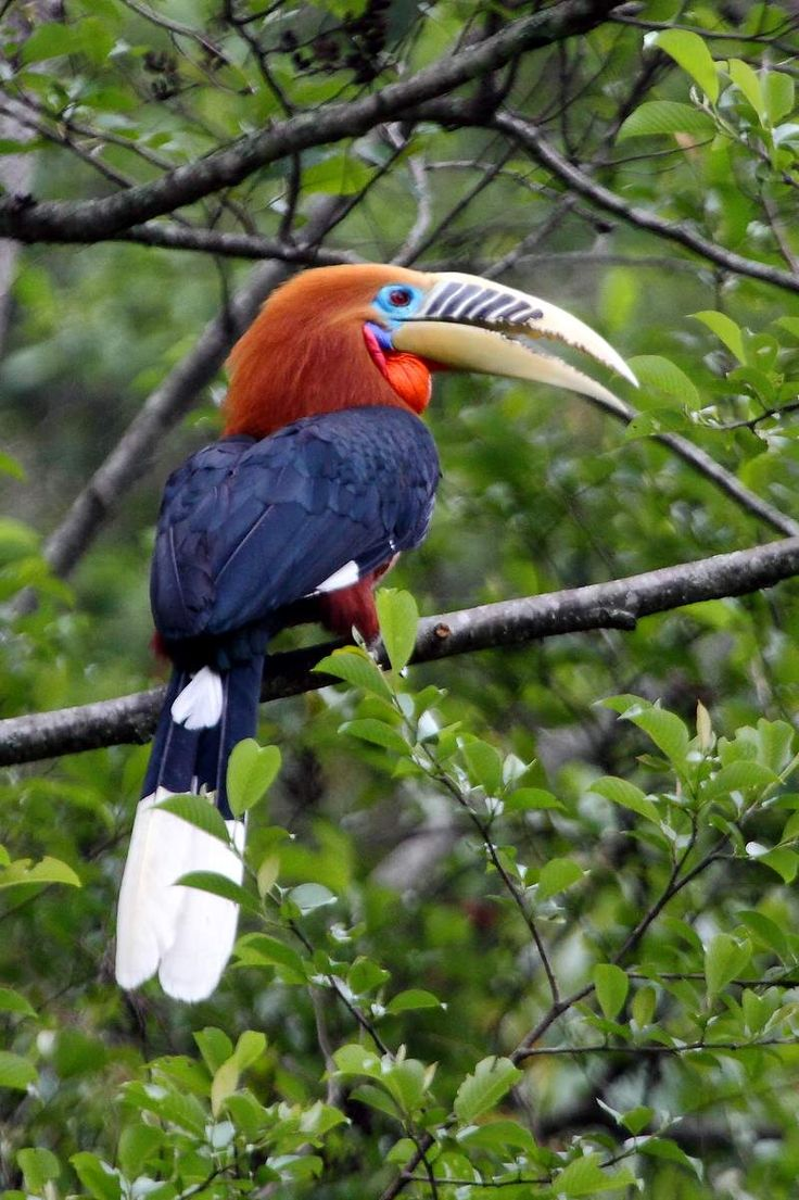 The Rufous-necked Hornbill (Aceros nipalensis) is a species of hornbill. Numbers have declined significantly due to habitat loss and hunting. It is estimated that there are now less than 10,000 adults remaining. With a length of about 117 centimeters (46 in), it is among the largest Bucerotine hornbills.