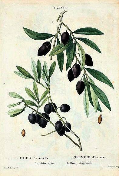 Pierre Redouté Olea Europæa 1801-19