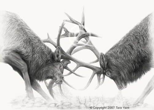 Bull Elk Tango Full | Pencil Drawings | Pinterest | Elk ...