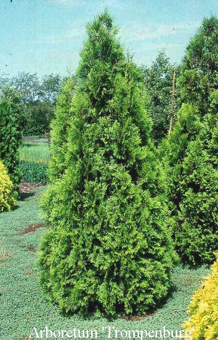 17 best images about evergreen shrubs for background and screens on pinterest taxus baccata. Black Bedroom Furniture Sets. Home Design Ideas
