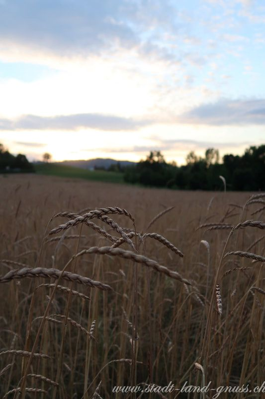 Nachhaltige Landwirtschaft, Belastungsgrenze des Planeten. Biolandbau. Getreidefeld, Sonnenuntergang, nachhaltige Landwirtschaft.