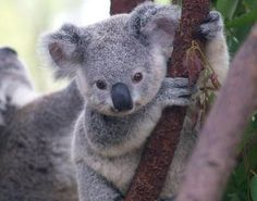 Koala Classification and Evolution The Koala is a small to medium sized mammal that is found inhabiting a variety of different types of forest in south-eastern Australia.