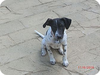 Glastonbury, CT - Hound (Unknown Type) Mix. Meet Zoey Ann, a puppy for adoption. http://www.adoptapet.com/pet/17103834-glastonbury-connecticut-hound-unknown-type-mix