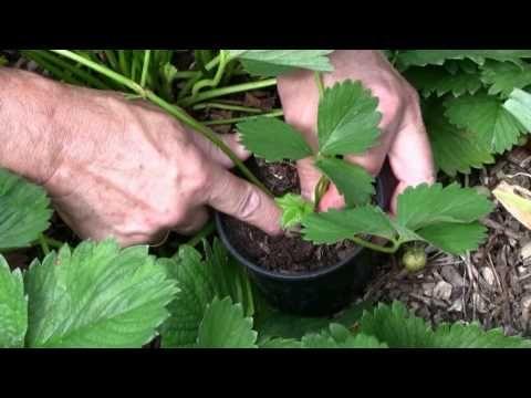 Erdbeerpflanzen selbst ziehen.mpg