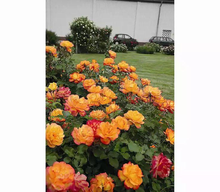 Garten Center Dehner: Strauchrose 'Sahara®': Dehner Garten Center