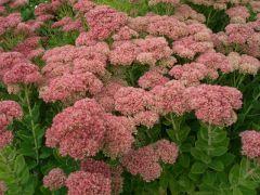 """Sedum """" Herbstfreude """" - rozchodník Zahradnictví Krulichovi - zahradnictví, květinářství, trvalky, skalničky, bylinky a koření"""