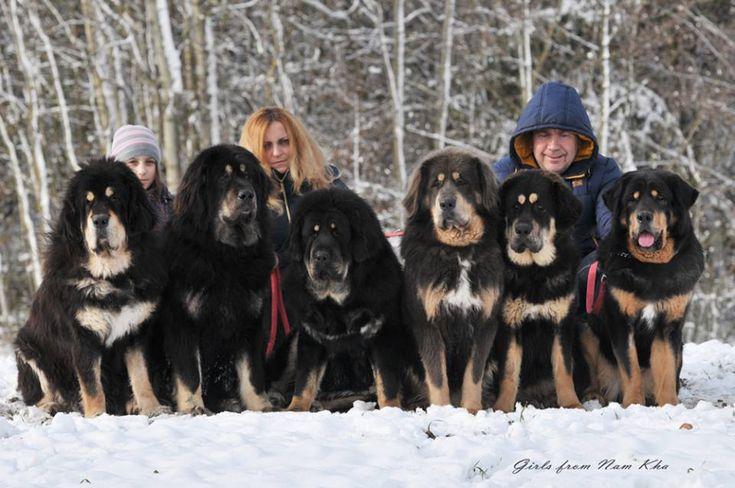 Tibetan Mastiff Girls form Nam Kha Kennel