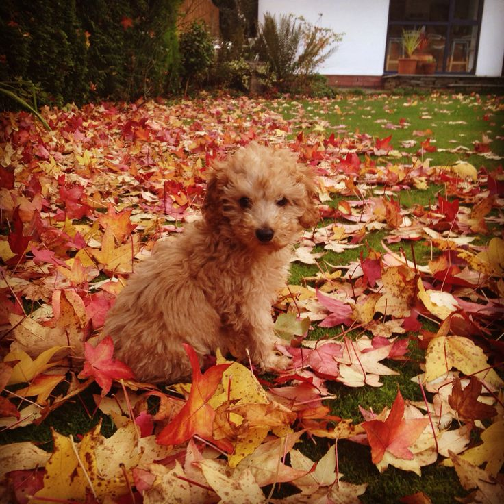 Leaves #cavapoo puppy