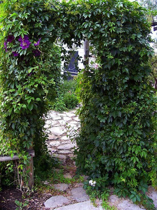 Pretty Clematis Vine Jackmanii And Virginia Creeper Garden Gate Trellis