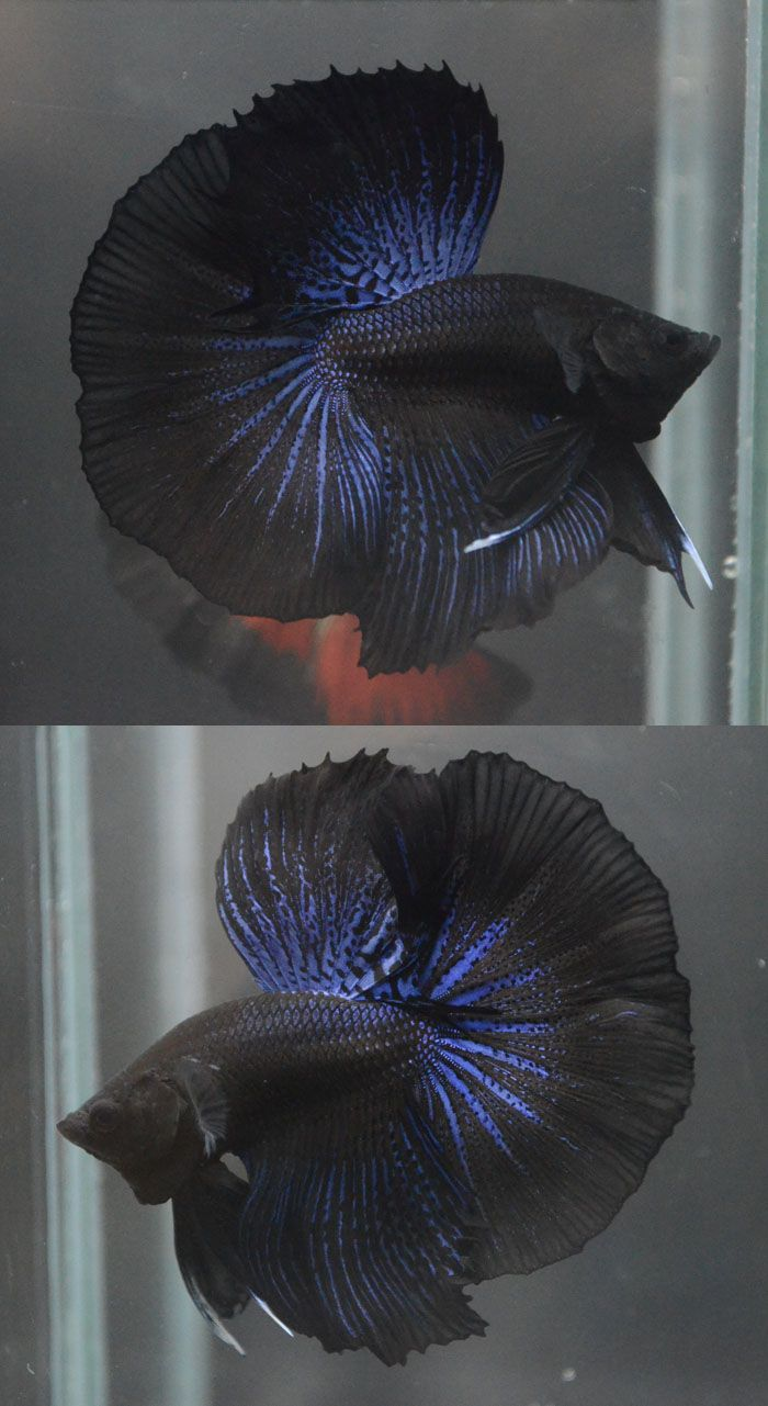 Black orchid betta